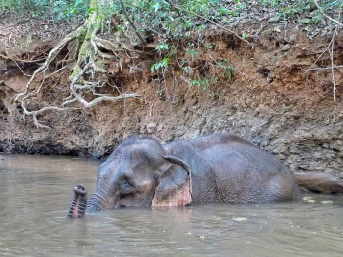 Self bathing elephant
